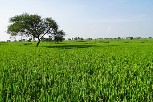 rice-fields-204139_960_720